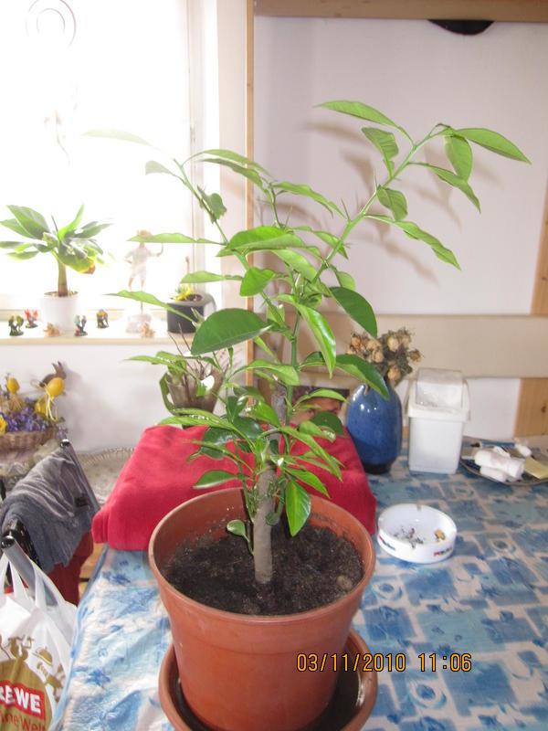 vertrockneter zitronenbaum pflanzenkrankheiten. Black Bedroom Furniture Sets. Home Design Ideas
